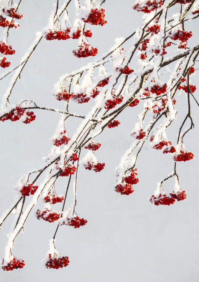 Neve sulle bacche rosse fotografia stock