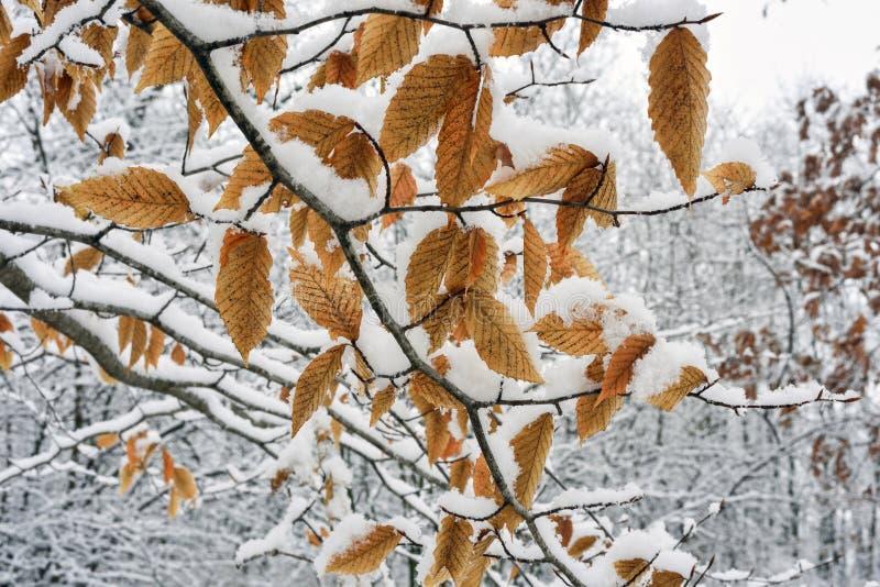 Neve sulle foglie del faggio immagini stock