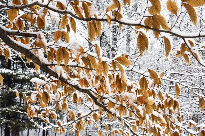 Neve sulle foglie del faggio fotografia stock