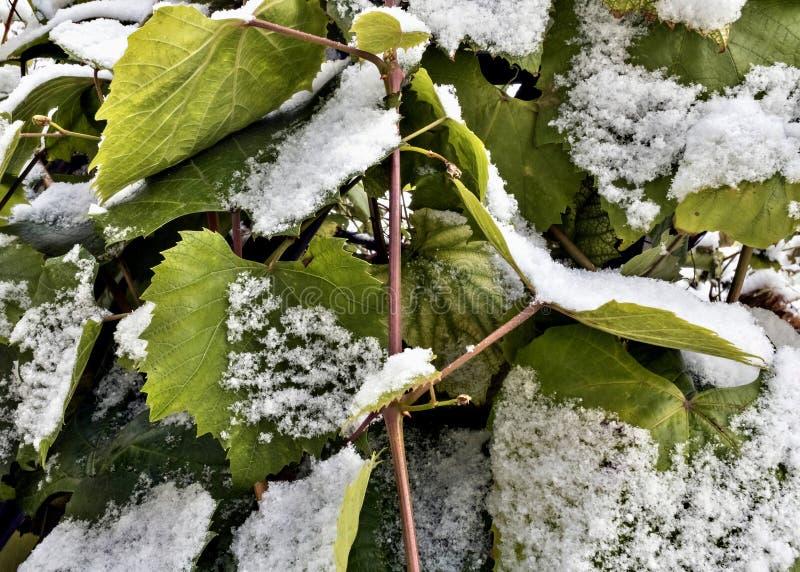Neve sulle foglie verdi dell'uva fotografia stock libera da diritti