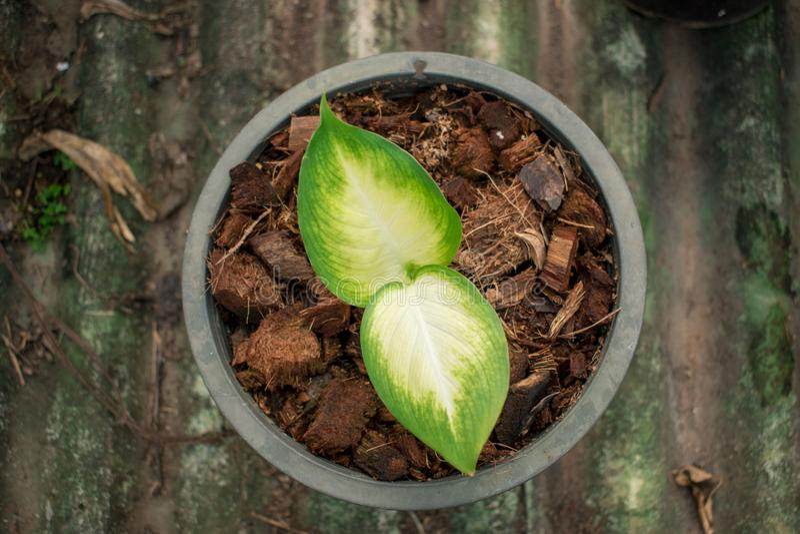 Neve tropica do amoena do Dieffenbachia que cresce em um potenciômetro imagem de stock royalty free