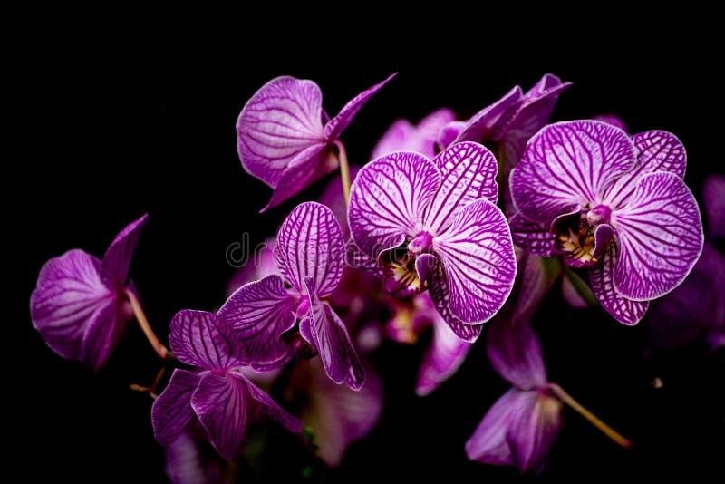 Nevel van kleurrijke purpere Phalaenopsis-orchideeën stock afbeelding