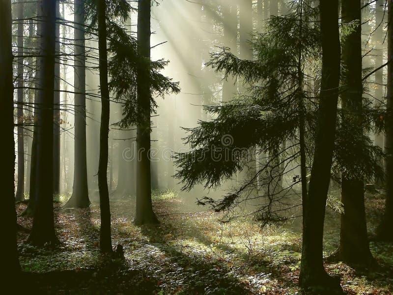 Nevelig bos met de vroege stralen van de ochtendzon stock foto's