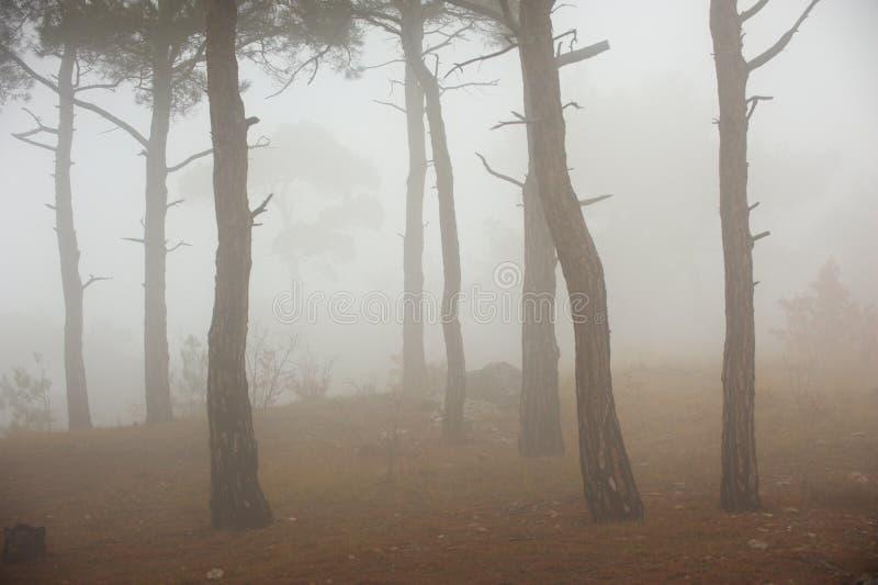 Nevelige de lenteochtend in het bos van de Pijnboomboom royalty-vrije stock foto's