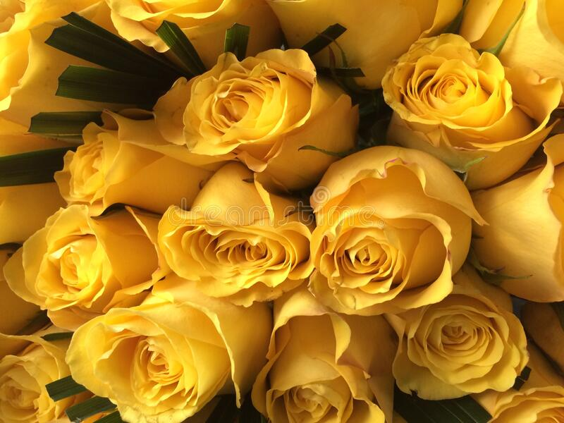 Yellow roses are a symbol of friendship and caring. stock photos