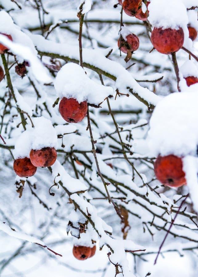 Nevichi sulle mele rosse che appendono sui rami di albero il giorno di inverno freddo fotografie stock