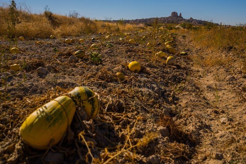 NEVSEHIR-OMRÅDE, CAPPADOCIA, TURKIET: Skördny-zucchini på fältet Härlig Uchisar by med dess spektakulära stenigt royaltyfria bilder