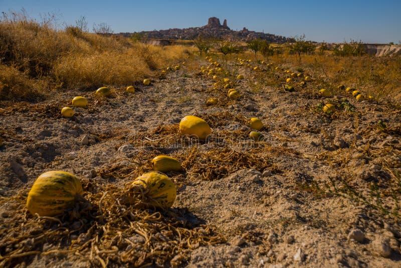 NEVSEHIR-OMRÅDE, CAPPADOCIA, TURKIET: Skördny-zucchini på fältet Härlig Uchisar by med dess spektakulära stenigt arkivfoto