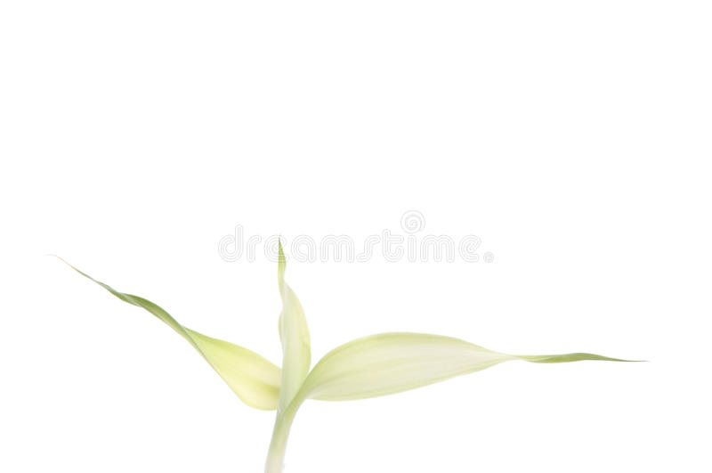 Download New Bamboo Leaf Grows stock image. Image of simple, leaf - 11744847