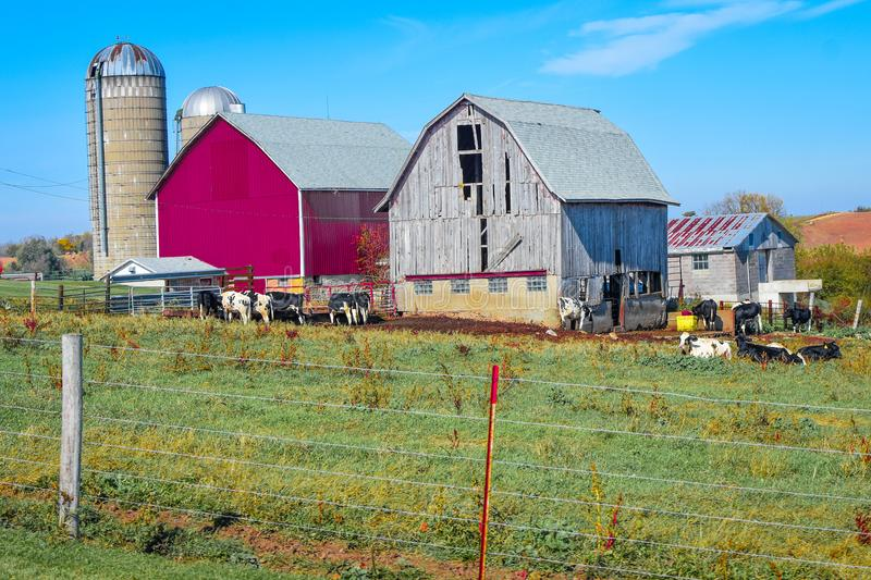 New Barn and Old Barn on a Wisconsin Farm. A new bright red barn next to a rustic, old falling apart barn. Opposites - Country farming with cows in the field royalty free stock image