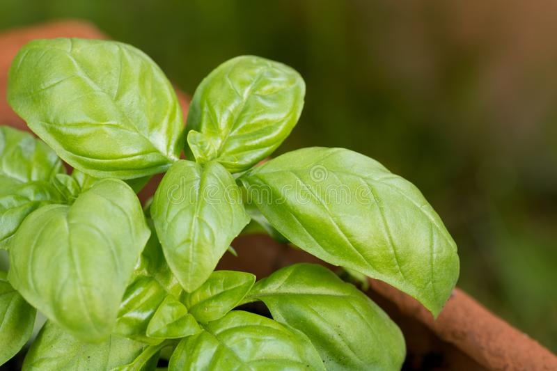 New basil plants growing in a terra cotta jar in the garden. Copy space stock images
