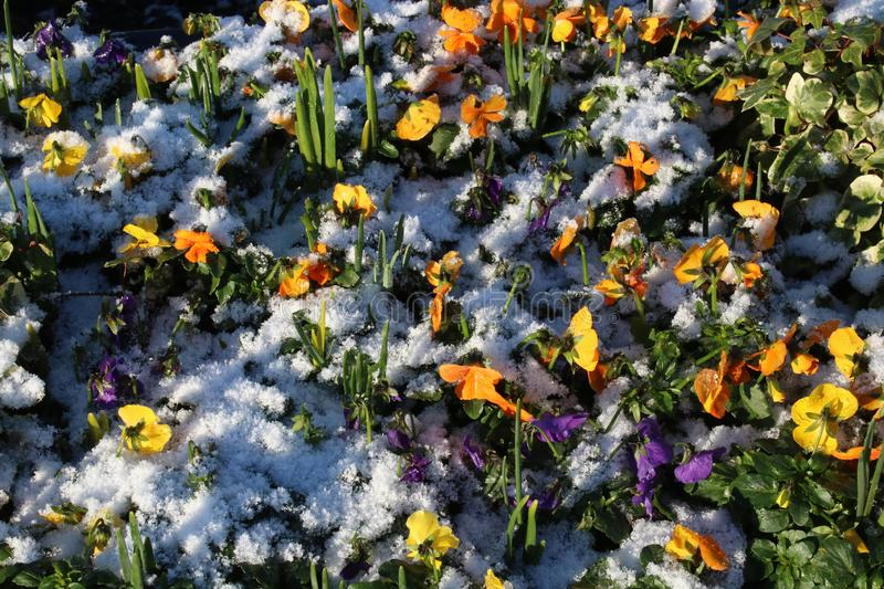 New bedding plants in flower bed, snow in winter. Small colorful bedding plants, pansies and violas, in a flower display with a covering of snow in winter with stock photos