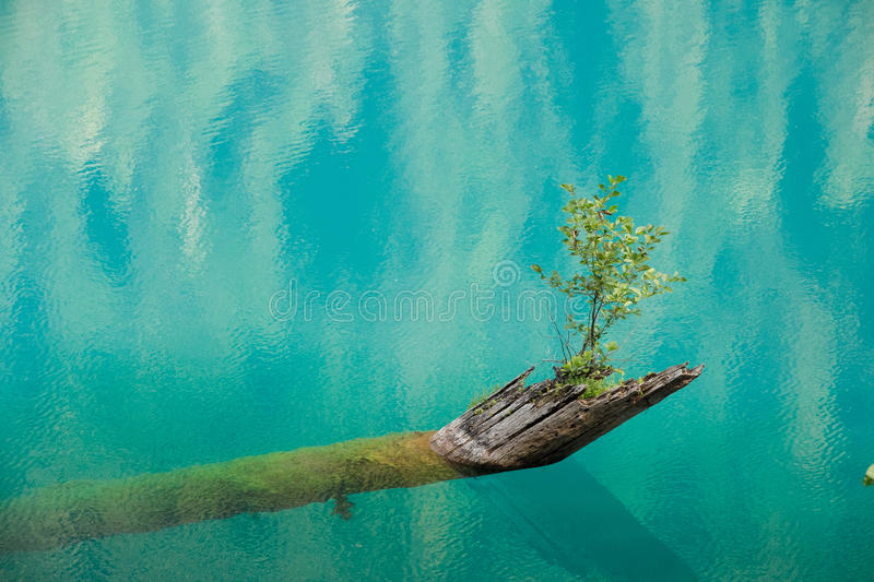 A new beginning. The sapling growing from a rotten tree fallen into the lake. royalty free stock photos