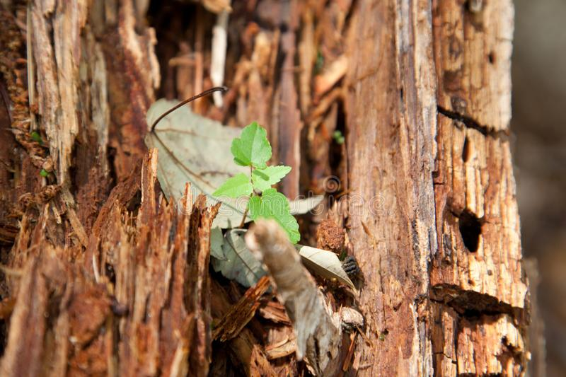 New beginnings in nature. A small green plant grows inside the bark of an old tree outside with copy space royalty free stock photography