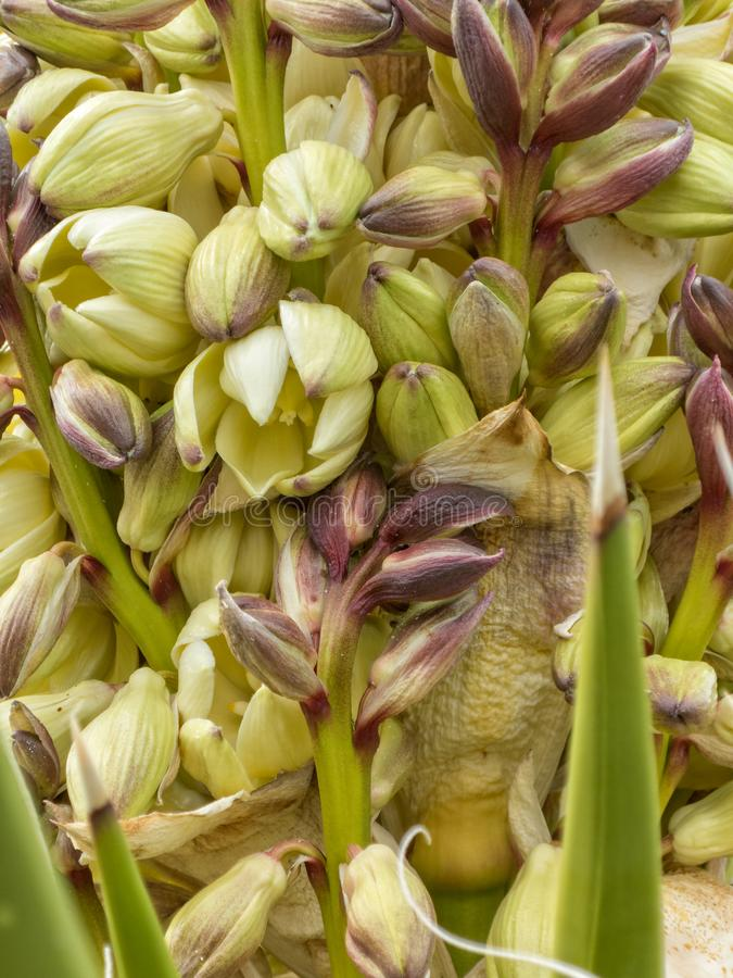 Yucca plant blossoms up close. New blooms on a Yucca plant, close up details royalty free stock image
