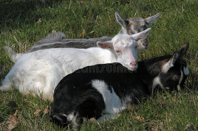 New born baby goats stock photos