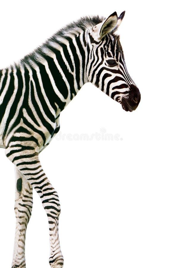 New Born Baby Zebra Stock Photography