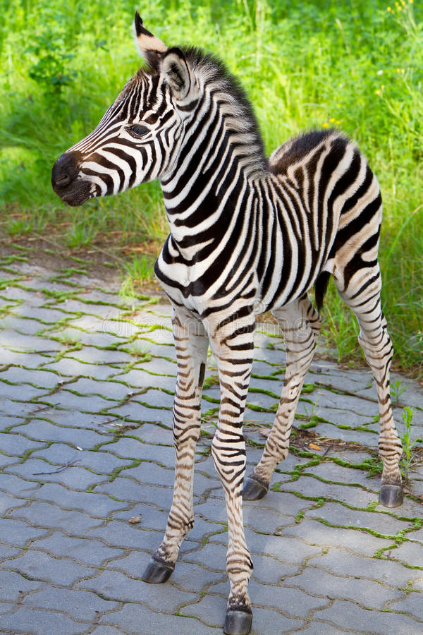 New born baby zebra royalty free stock images