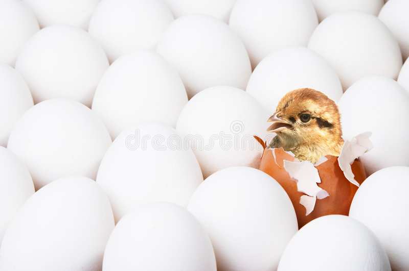New-born chick. In red egg