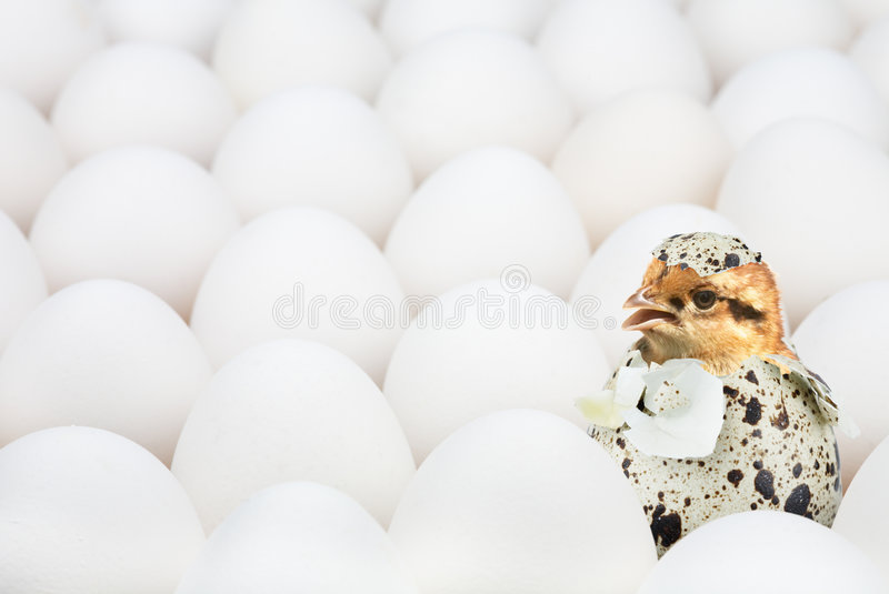 New-born chick. In unusual egg among ordinary another eggs stock photo