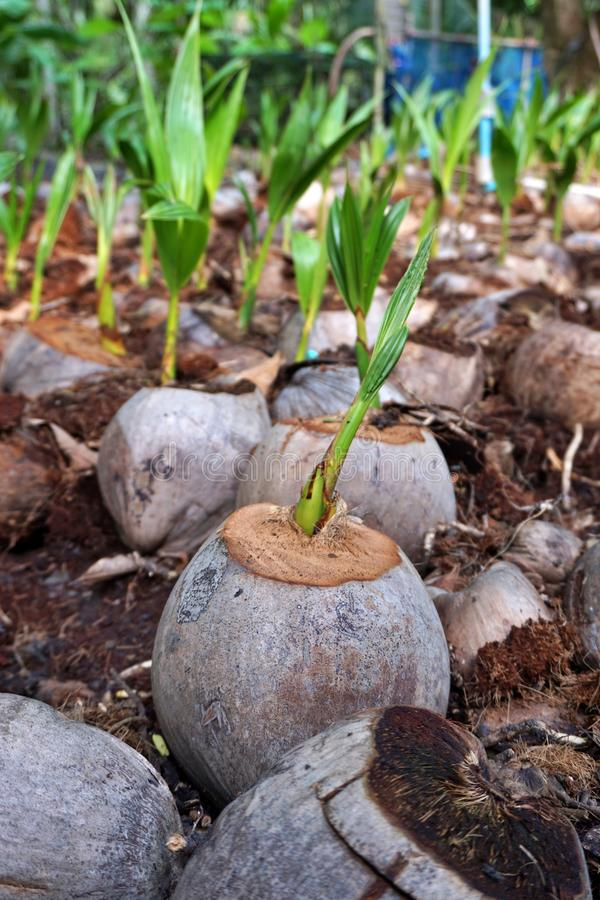New born coconut tree in Samut Songkhram, Thailand. New born coconut tree in Thailand royalty free stock photo