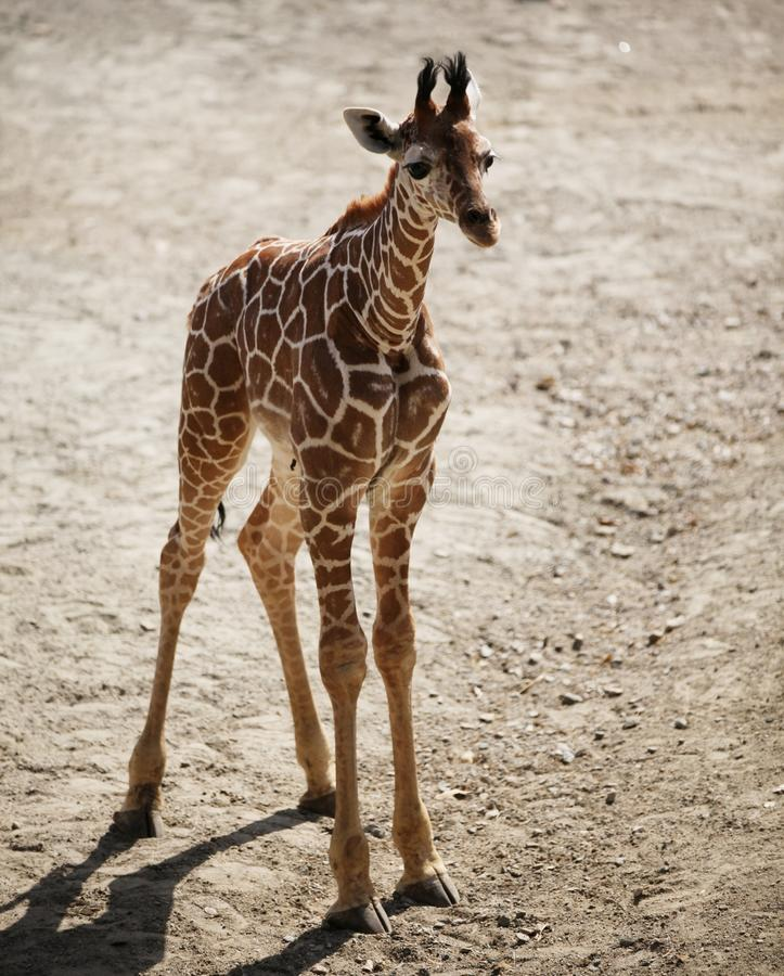 A new-born giraffe male calf. Brown, patterns, mammal, animal, zoo, herbivore, horns, wildlife, baby royalty free stock photography