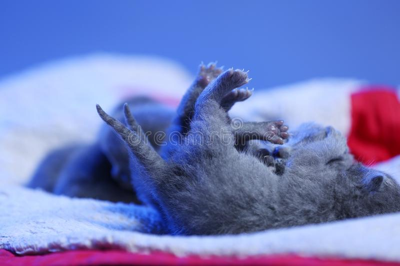 New born kittens, few days old, blue background stock images