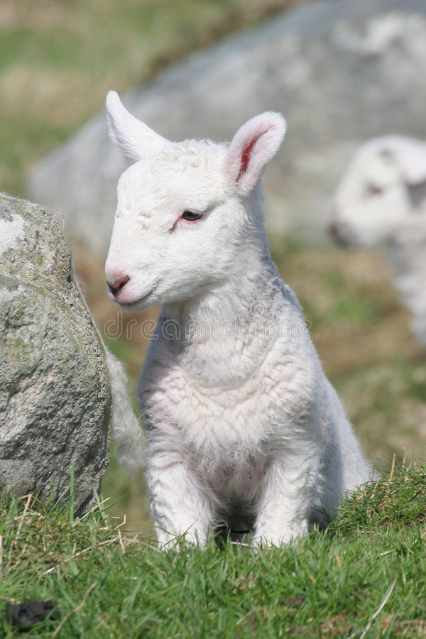 Download New Born Lamb stock image. Image of grass, field, upright - 3945713