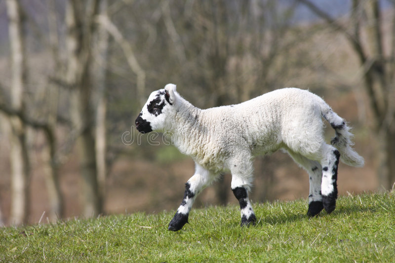 Download New Born Lamb Stock Photo - Image: 5833710