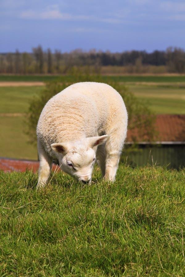Free New Born Lamb Grazing Royalty Free Stock Photo - 19475195