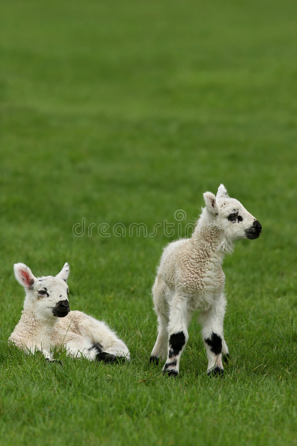Free New Born Lambs Stock Image - 1776181