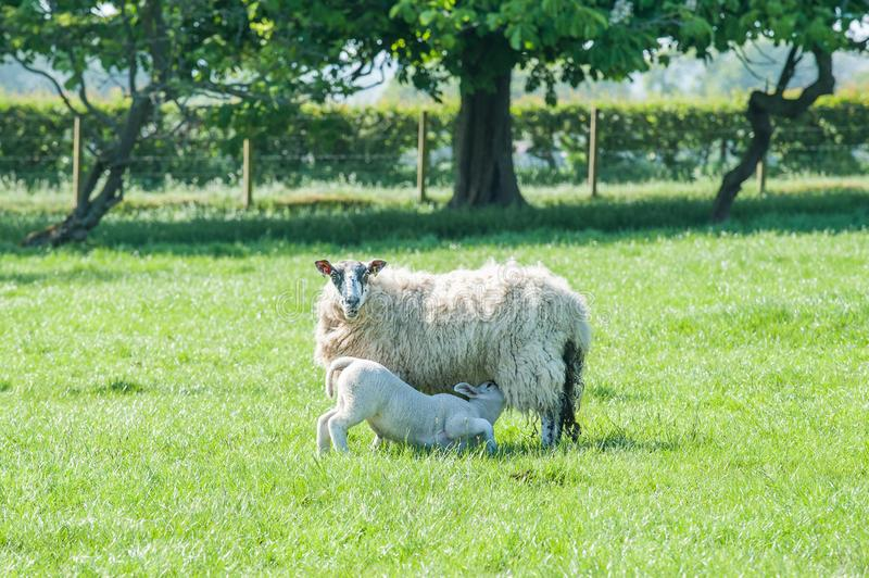 New born lamb sackling mother sheep standing on fresh green spring field. New born lambs suckling their mother standing on a fresh green spring field stock photos