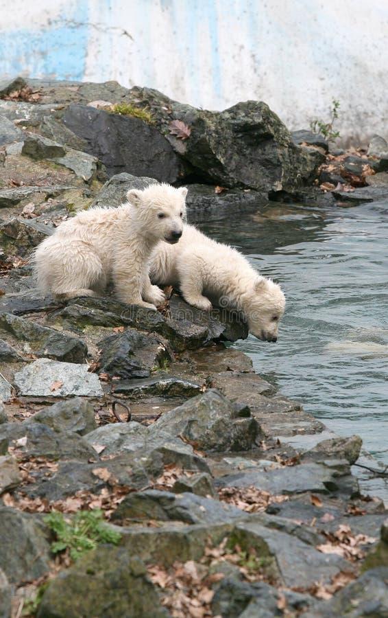 New born polar bears royalty free stock photos