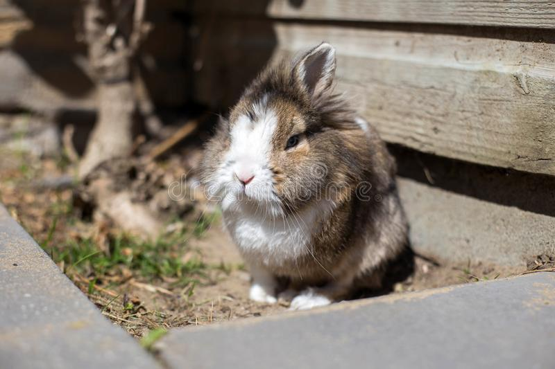 New born rabbit or cute bunny on sand in a garden, cute pet. Fluffy stock photo