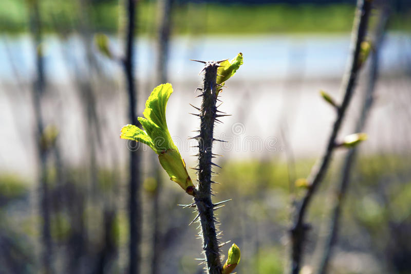 New bright green fresh spring leave buds on the tree brunch. stock images