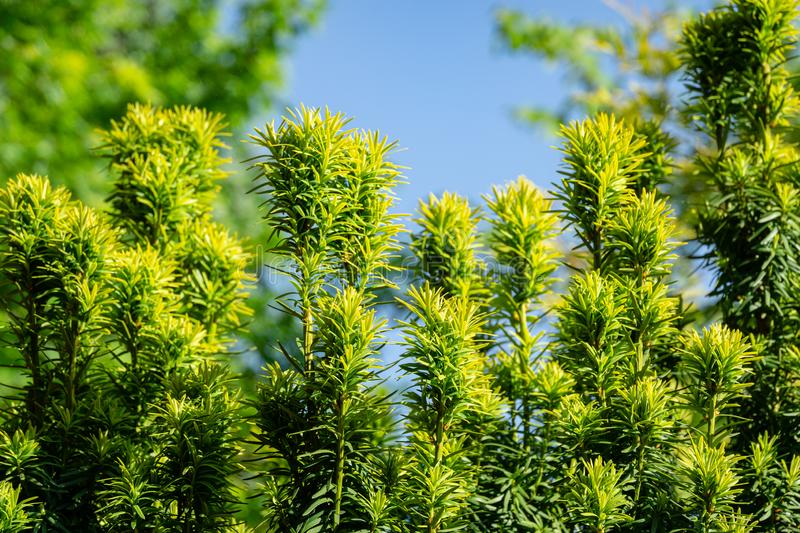 New bright green with yellow stripes foliage on yew Taxus baccata Fastigiata Aurea English yew, European yew. In spring garden as natural background. Selective royalty free stock images