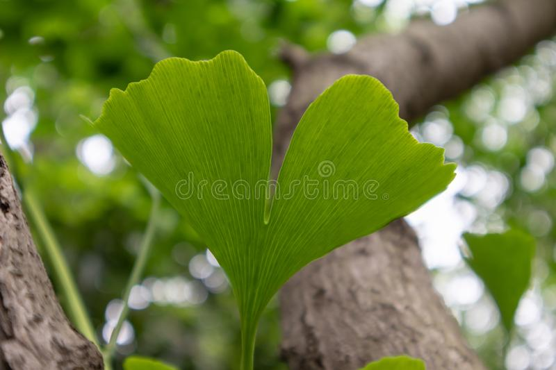 New bud old tree-Ginkgo biloba leaf. Ginkgo biloba is a deciduous tree of the ginkgo family and Ginkgo biloba.The leaves alternate with each other, and are royalty free stock photography