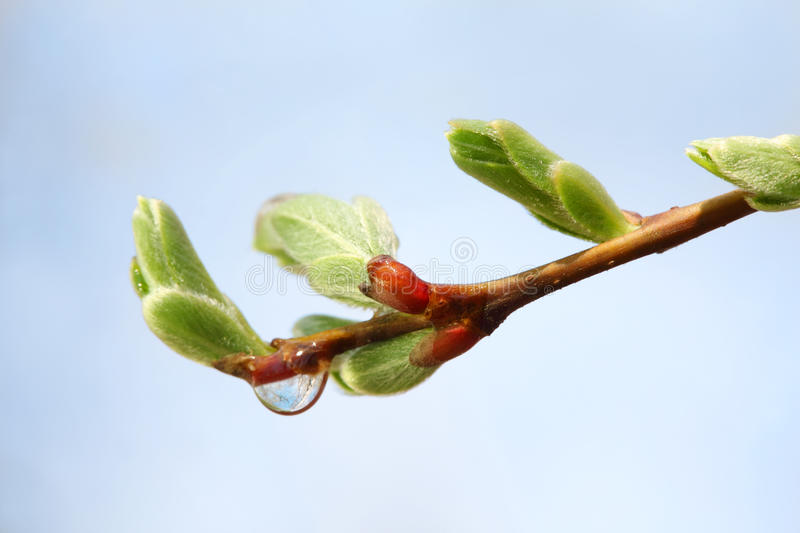 Download New Buds And Transparent Drop On Branch Of Tree Stock Image - Image: 23238005