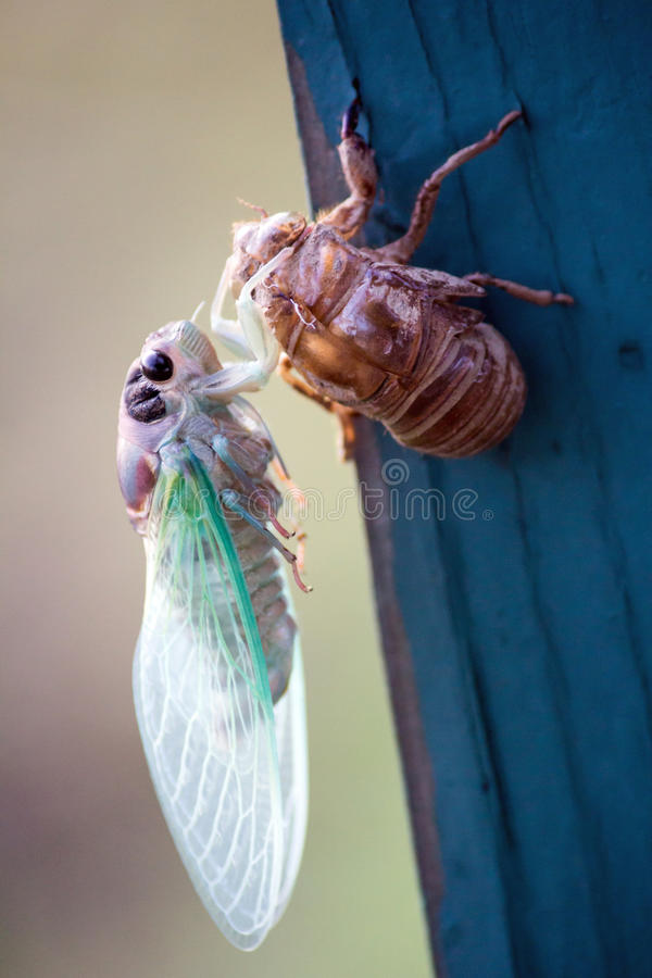 New Cicada Bug Beginning stock photo