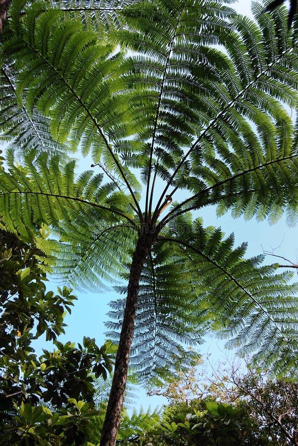 New caledonia fern royalty free stock photos