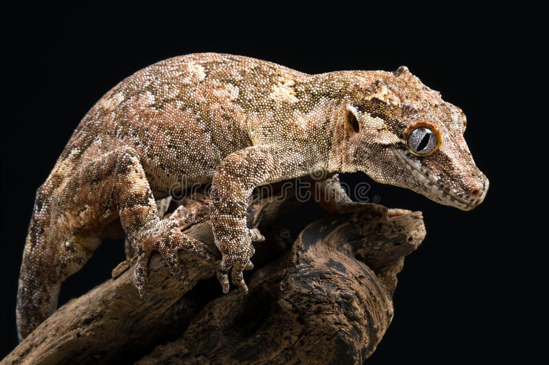 New Caledonian Bumpy Gecko (Rhacodactylus Auriculatus). Gargoyle Gecko against a black background royalty free stock photo