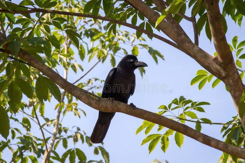 The New Caledonian crow bird on the tree. Raven in tropical jungle stock images