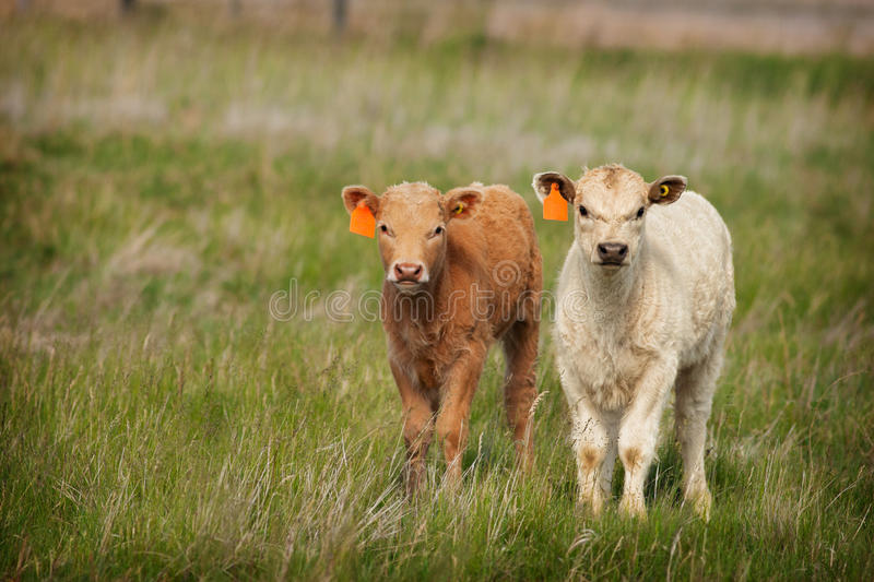 Download New Calves Stock Image - Image: 31774201