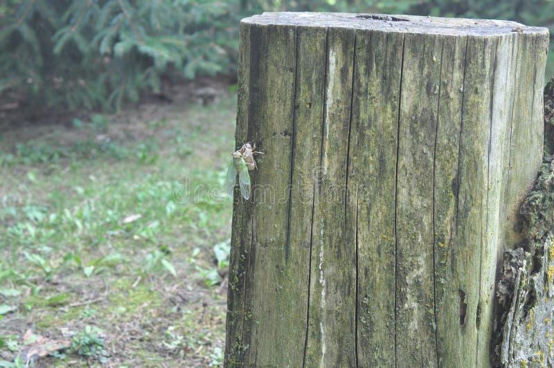 New Cicada Fresh from the Pupae obraz royalty free