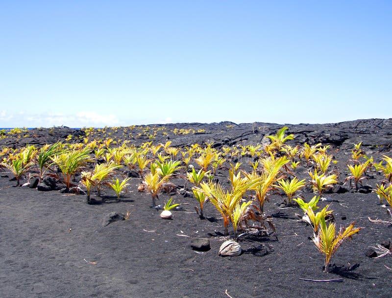New coconut grove, Big Island, Hawaii stock photography