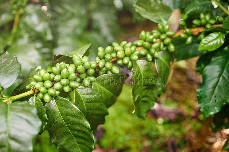 New coffee berries ripe. On tree branch macro close up view stock image