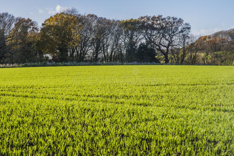 New crops in Combe Valley, East Sussex, England stock photo