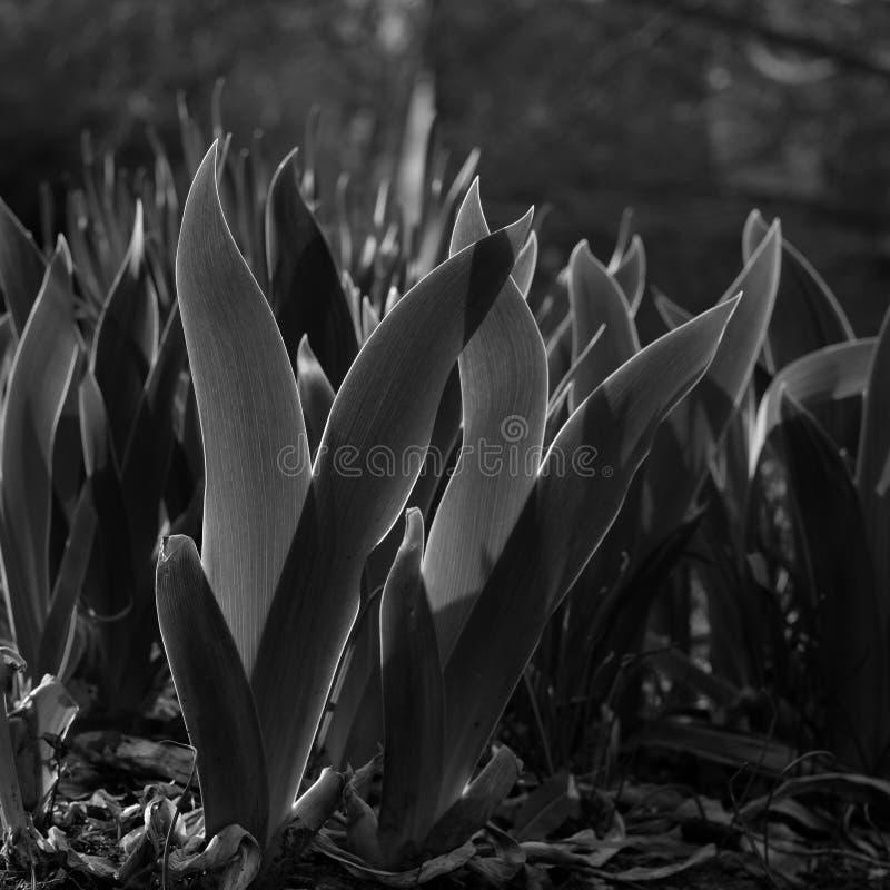 New Daffodil blades stock photo