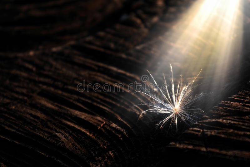 New dandelion seed royalty free stock photography