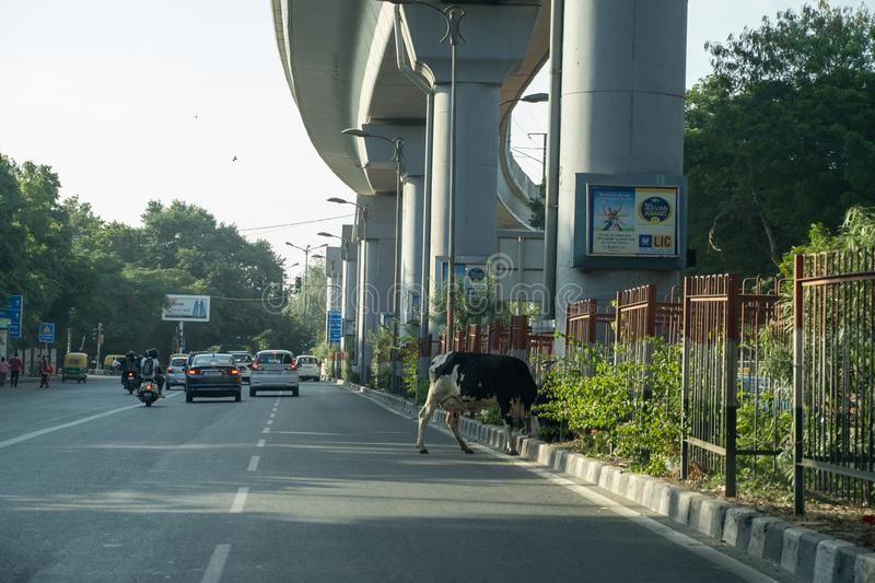 Cow enjoying a meal in the median of a busy street in New Delhi India royalty free stock images